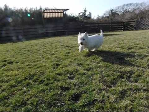West Highland White Terrier Westie Video
