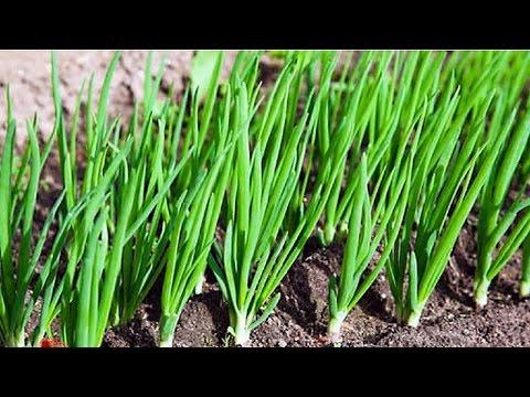 181.Подробное описание посадки лука весной.
