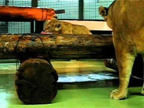 ライオン ユウキ・ゲンキ 2008.3.18