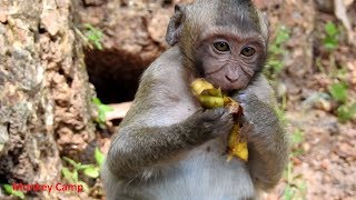 Cute baby monkey eat mango, Good baby cuz now he stop cry, Monkey Camp Part 2398