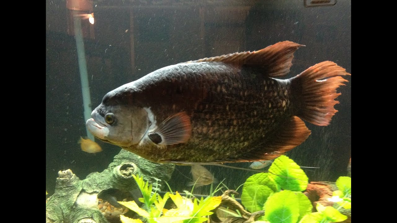 Gourami fish male female difference
