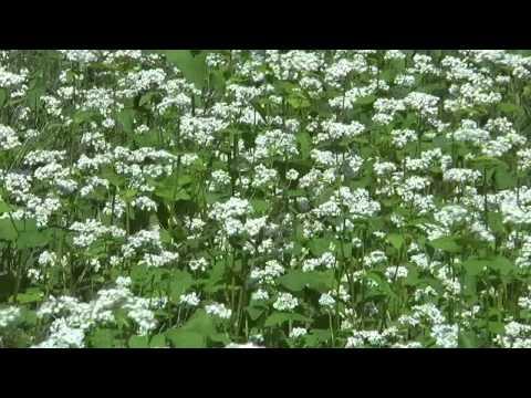 高山市 「そばの里荘川」 ~ソバの花~