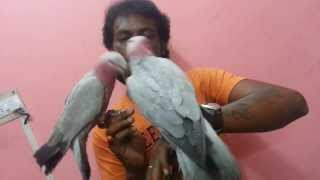 Tamed Galah Cockatoo in (Preethi Farms)