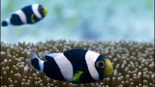 Incredible Teamwork From Little Clownfish - Blue Planet II