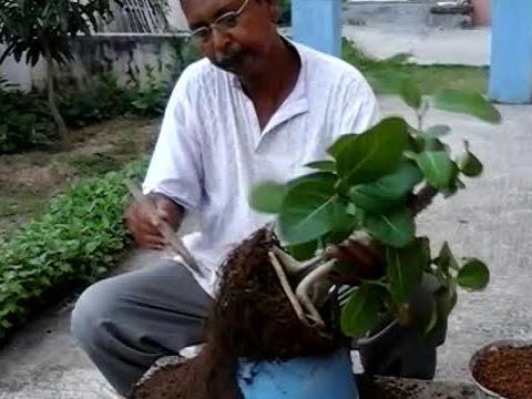 How to repot bonsai banyan tree