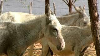 Série JR: santuário do Ceará se empenha em salvar animal-símbolo do sertão