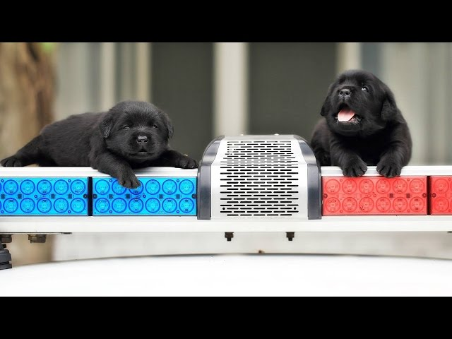 Meet The Future K-9 Members Of Police Department In Adorable Puppy Photo Shoot