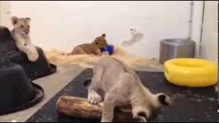 Lion Cubs Together - Maryland Zoo
