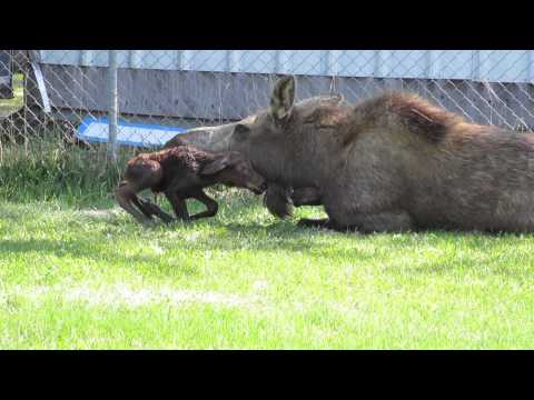 Mommy Moose Gives Birth to Twins!