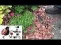 Tuto Jardinage Dianthus Deltoïdes œillet Taille Et Entretien Plante Vivace mp3