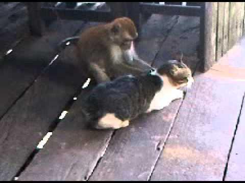 persahabatan monyet dan kucing