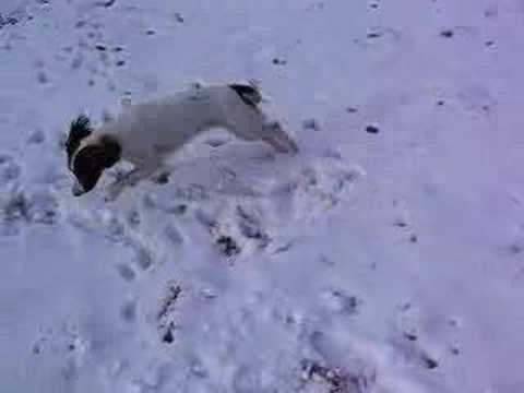English Springer Spaniel in Snow Video