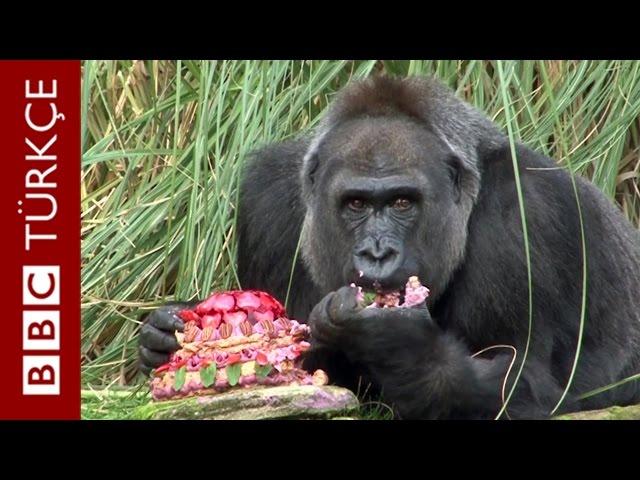Dişi goril Zaire'nin 40'ıncı doğum günü için özel pasta - BBC TÜRKÇE