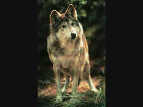 Man� - Mana Un lobo por tu amor