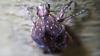 Singapore insect Fiddler Beetle Macro Video