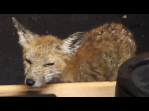 Garbage the Fox - 02