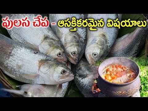 పులస చేప గురించి మీకు తెలియని విషయాలు | Pulasa Fish Interesting Facts Telugu