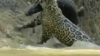Chasse dans l'eau. Le crocodile se fait manger par le tigre.