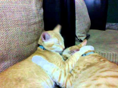 Brotherly Love Of My Kittens (kuch Kuch Hota Hai).mp4 video