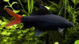 Cận cảnh cá chuột thái đánh nhau-Rainbow sharkminnow