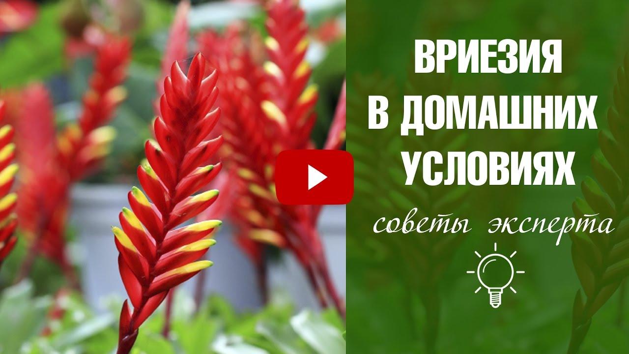 Вриезия уход и выращивание в домашних условиях 80