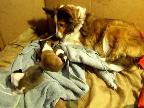 2010 Sheltie puppies sound like a ham radio!