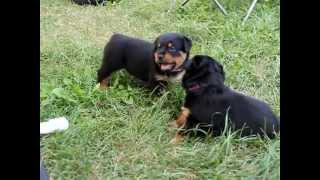 Rottweiler Puppies 4 weeks Playing