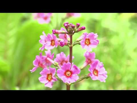 ดอก Primula japonica ในป่าโนนโนะ เหล่าดอกไม้สีชมพูที่บานสะพรั่ง