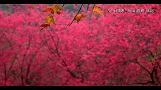 惠蓀林場賞櫻 - 228櫻花盛開篇 Cherry blossom viewing in Huisun Forest