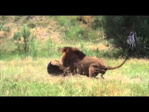 Male Lion vs Bear
