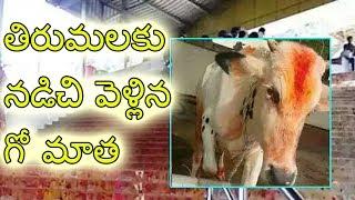 Cow went tirumala tirupati by steps   Tirumala temple news   News Cabin