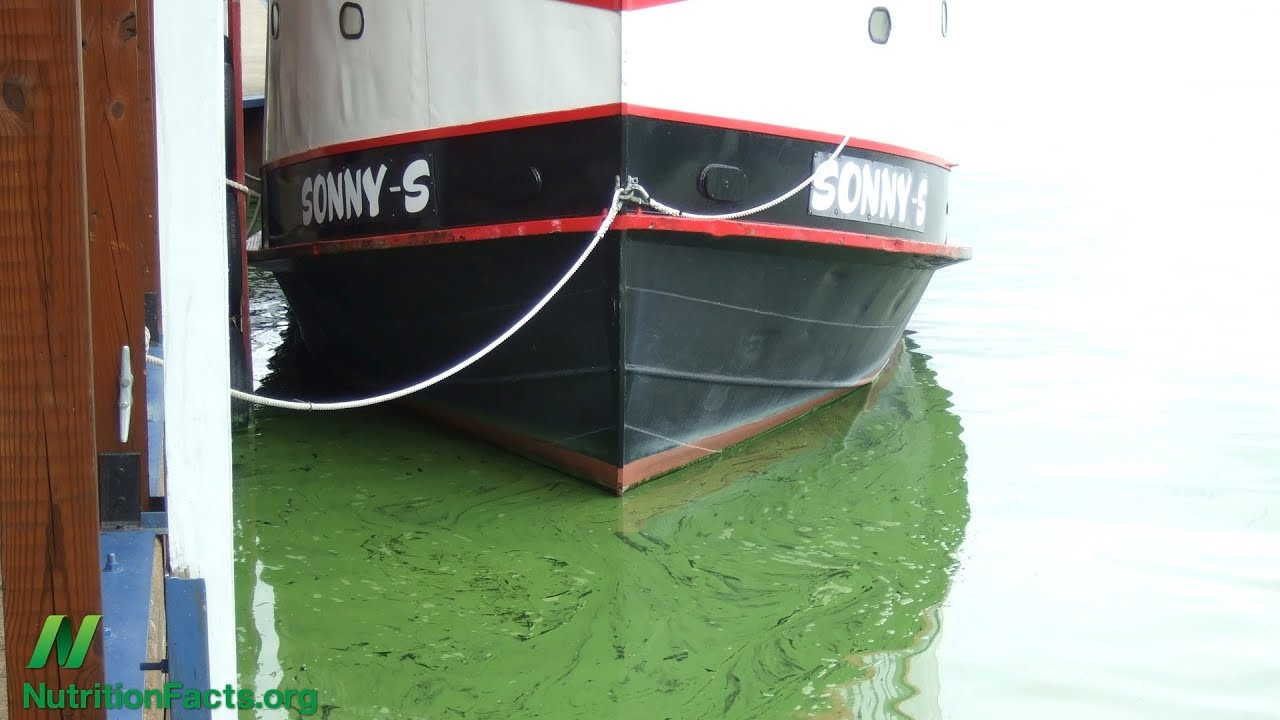 Is blue-green algae good for you?