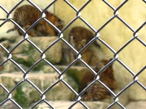 安佐動物公園トラの赤ちゃん Part2