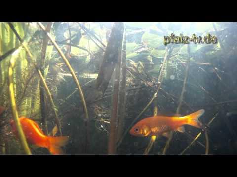 Teich TV - Mit Der GoPro Im Gartenteich  Teil I
