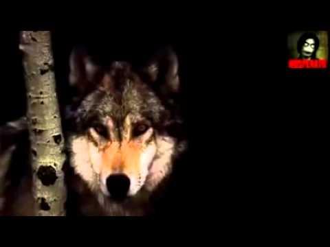 Волк отомстил но отомстил без крови