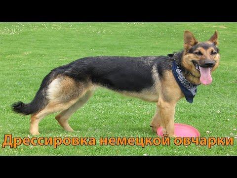 Славянск сегодня (Украина), Дрессировка немецкой овчарки молодым парнем