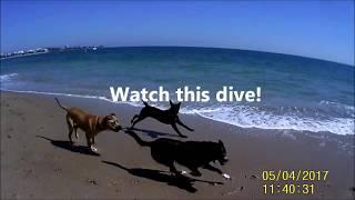 Diving dogs at Silver Sands Beach, Mandurah 5 apr 2017