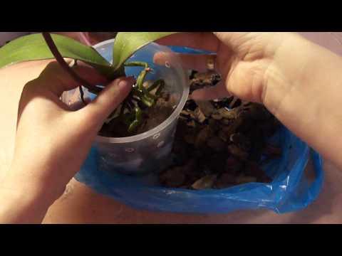 Как посадить орхидею фаленопсис. Посадка орхидеи.