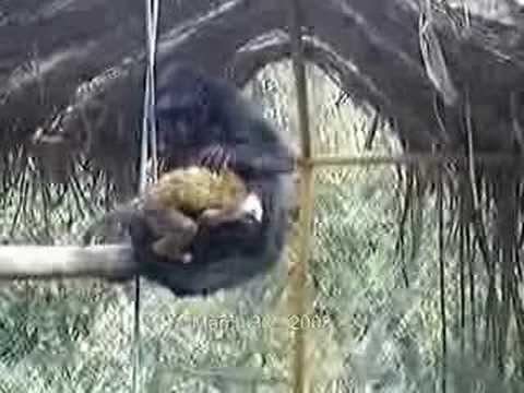 Monkey Sex Funny video
