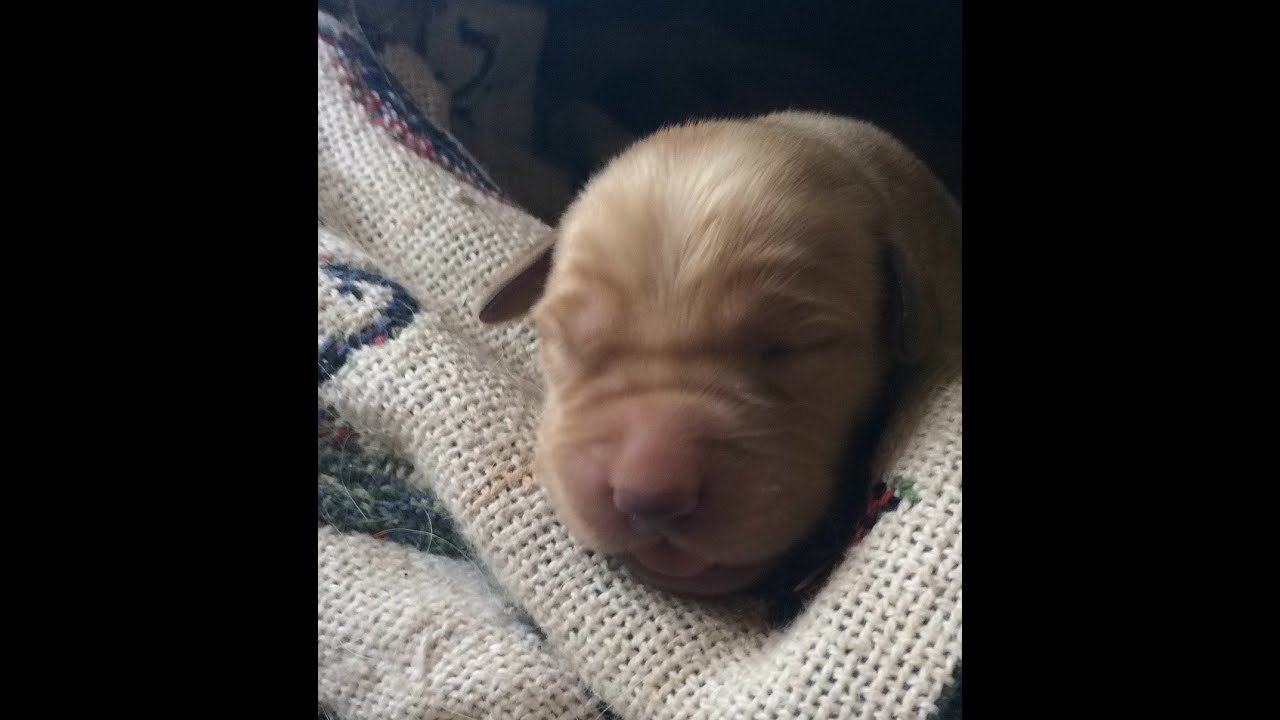 Labrador Puppies 5 Days Old 5 Days Old