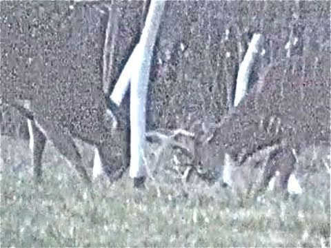 LARGE WILD BUCK WHITETAILS FIGHT TO AN END FOR DOMINANCE Video