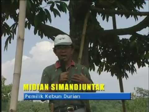 DURIAN JUNTAK  PLANTATION  Information