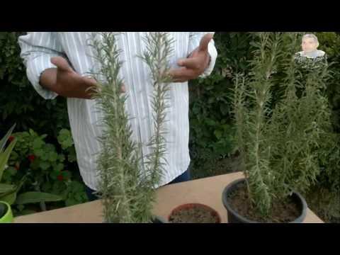 نبات الروزمارى وفوائده وطرق اكثاره thumbnail
