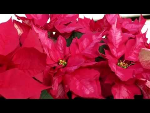 Prairie Yard & Garden: Holiday Plants