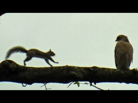 Drunk Squirrel vs Hawk FYV 1080 HD