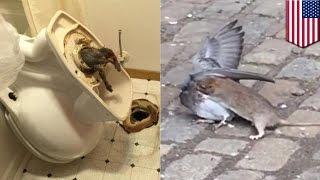 Zwierzaki: szczury w toaletach i szczur polujący na gołębie