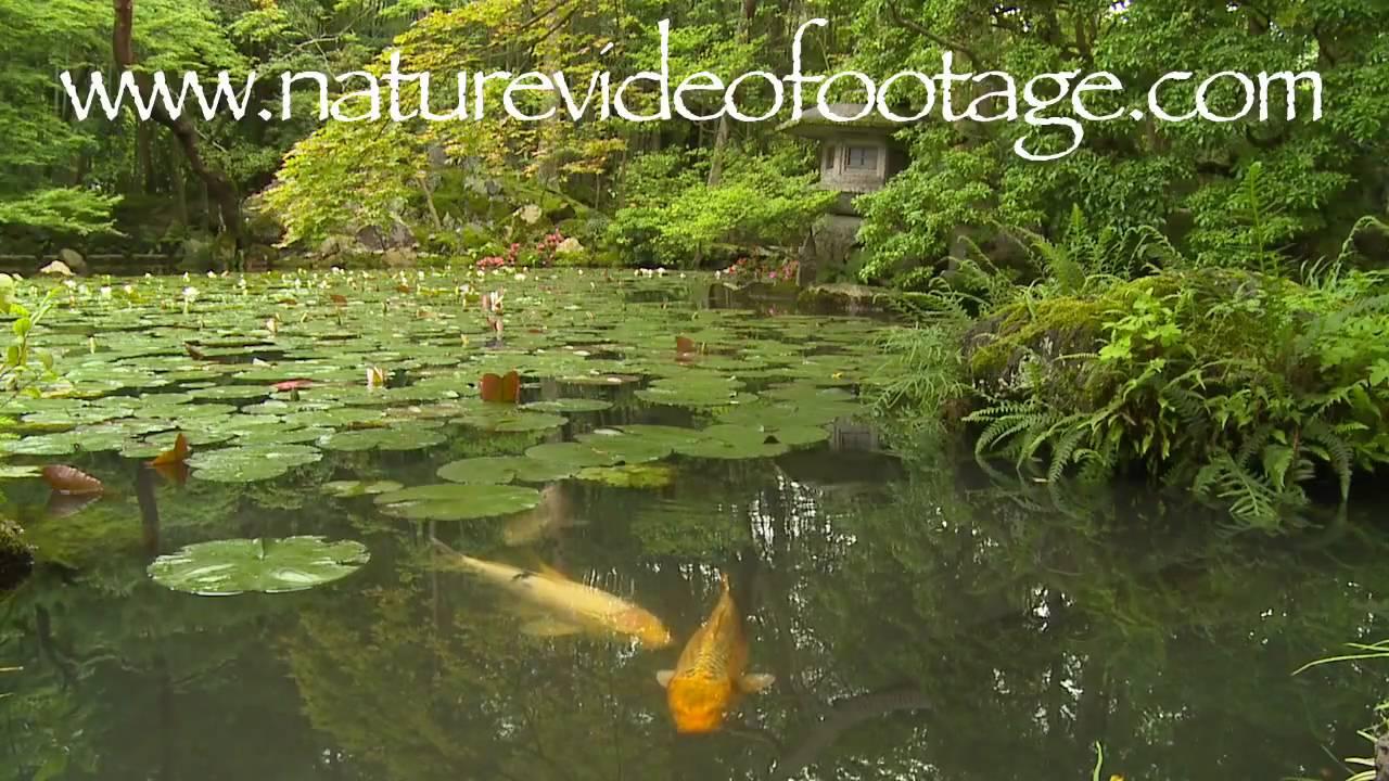 Koi pond with lotus nature video stock footage 0010 youtube for Koi fish pond lotus