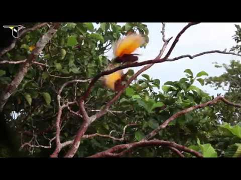Greater Bird-of-paradise video