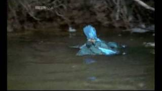 Kingfisher gets eaten by MINK.....rare footage!
