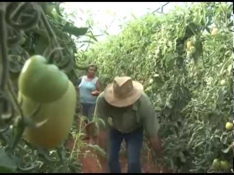Produtor de tomate envarado investe em estufa para garantir a produtividade fora de época
